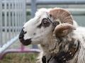 """Owca rasy """"Rosset"""" hodowana w Dolinie Aosty"""