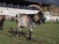 Koza hodowana w Dolinie Aosty