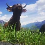 wiosna primavera alpi montagna mountains alps aostavalley valleaosta mucche pascolohellip