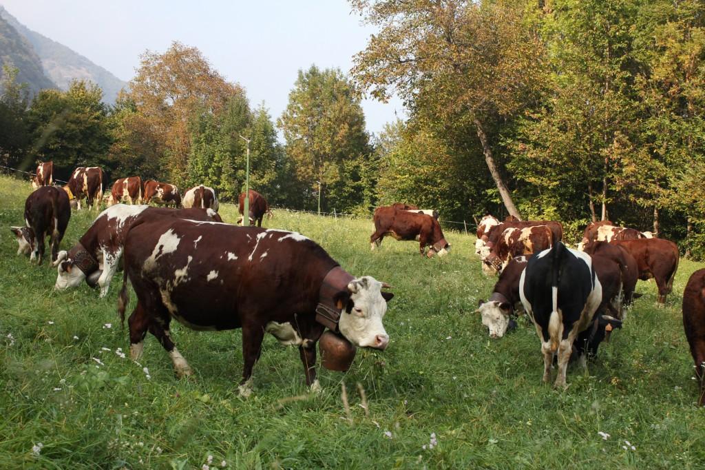 Alpejskie krowy na pastwisku.