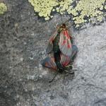 Przyłapane na gorącym uczynku owady w Dolinie Aosty?