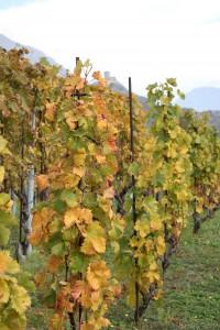 Typowe tarasy winnic w Dolinie Aosty. Okolice Chambave.