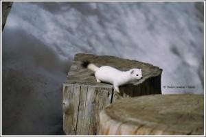 """Łasica, w białym zimowym """"ubraniu"""", w Parku Narodowym Gran Paradiso."""