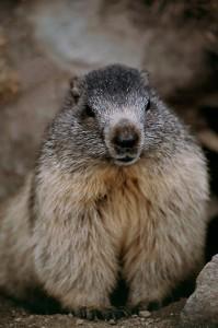 Marmota - świstak na szlaku w Parku narodowym Gran Paradiso