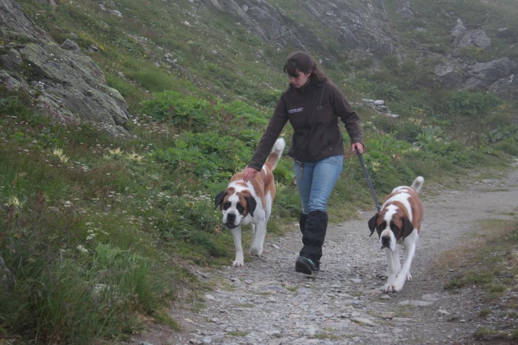 Psy rasy Bernardyn z hodowli podczas spaceru na Wielkiej Przełęczy Świętego Bernarda