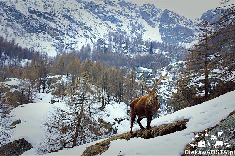 Koziorożec alpejski w Pont. Natura na wyciągnięcie ręki!