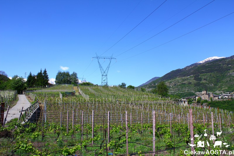 Winorośle w miejscowości Aymavilles.