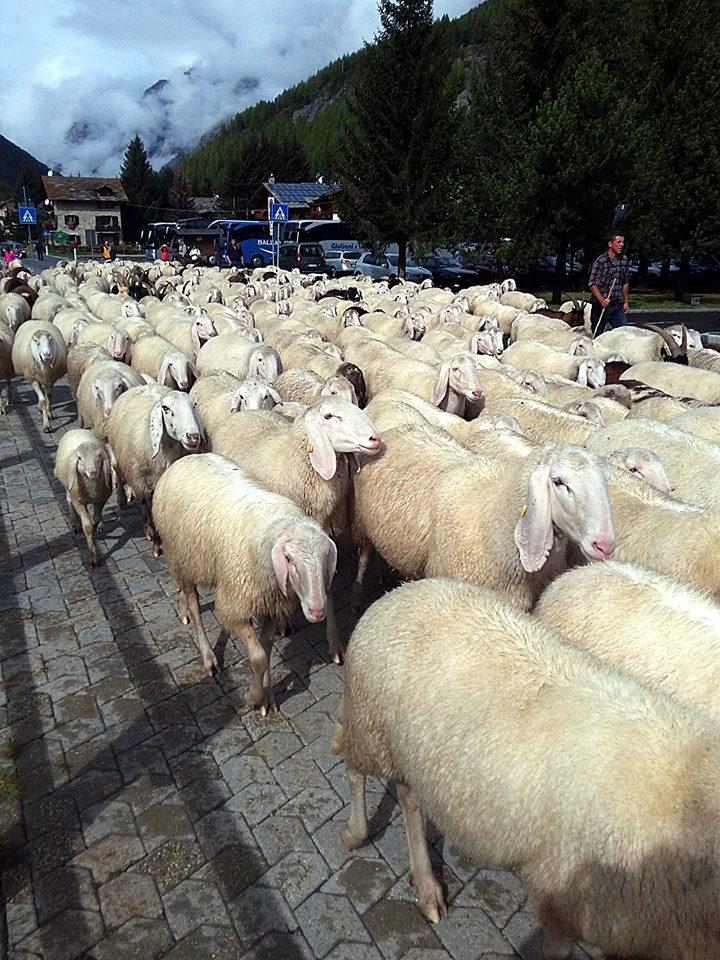 La discesa a Valle delle pecore. La loro lana finirà tra le abili mani deLes Tisserands - drap de Valgrisenche.