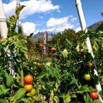 I primi pomodorini  Coltivati a 1200 metri in mezzohellip