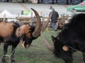 Kozy z Doliny Aosty
