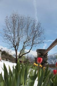 Wiosna w Alpach. W tle Grand Combin pokryta świeżym śniegiem.