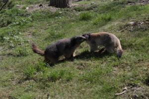 Świstaki w Parku zwierzęcym w Introd