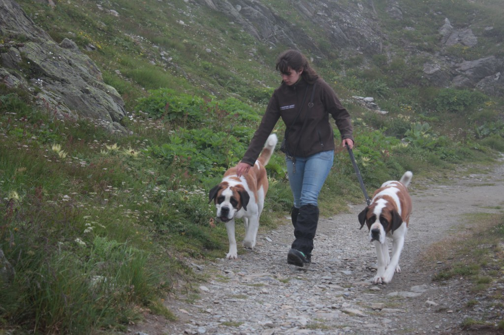Psy rasy Bernardyn podczas spaceru na Wielkiej Przełęczy Świętego Bernarda