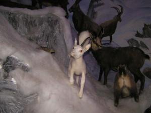 Dahu - alpejskie zwierzę. Źródło TU