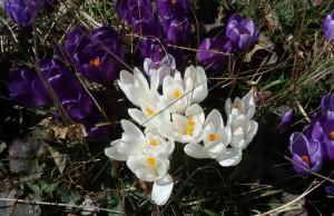 kwiaty w Alpach