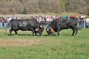 Walki krów - tradycja, która od lat tak samo emocjonuje, przyciągając coraz więcej widzów.