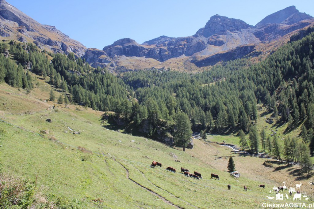Krowy nada wypasaja się wysoko. Tradycyjne zejścia bydła do doliny, zwane desarpa, odbywa się 29 września.