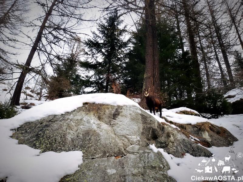 Kozica spotkana na wzgórzu drogi pomiędzy Pont i Dégioz.