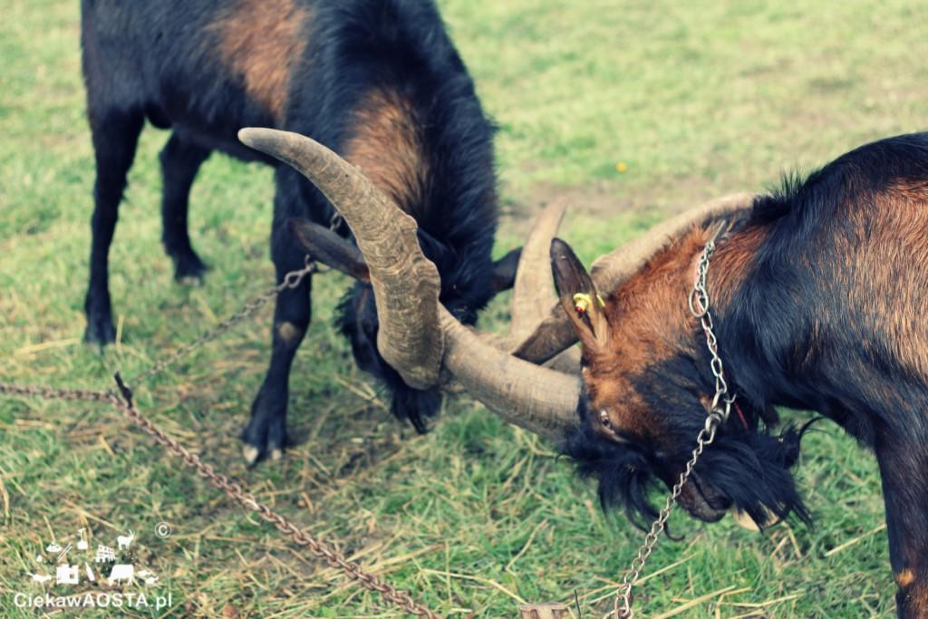 Walki kóz