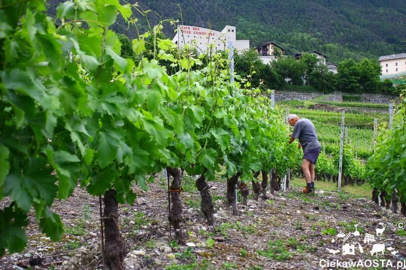 Praca przy winorośli u stóp zamku w Aymavilles.